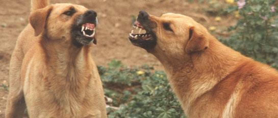 Dogs snarling - learn to handle aggressive dogs